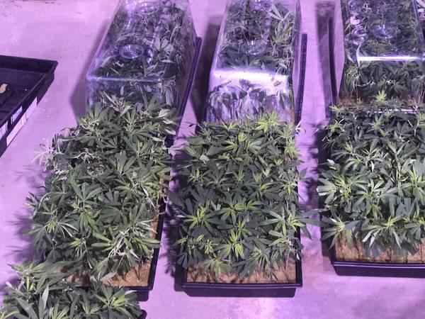 Premium Hemp Clones – 10 plants